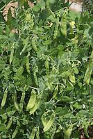 Sugar snap peas growing in vegetable garden