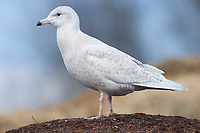 Immature, 1st winter Glaucous Gull (Larus hyperboreus). Tompkins County, New York. January.