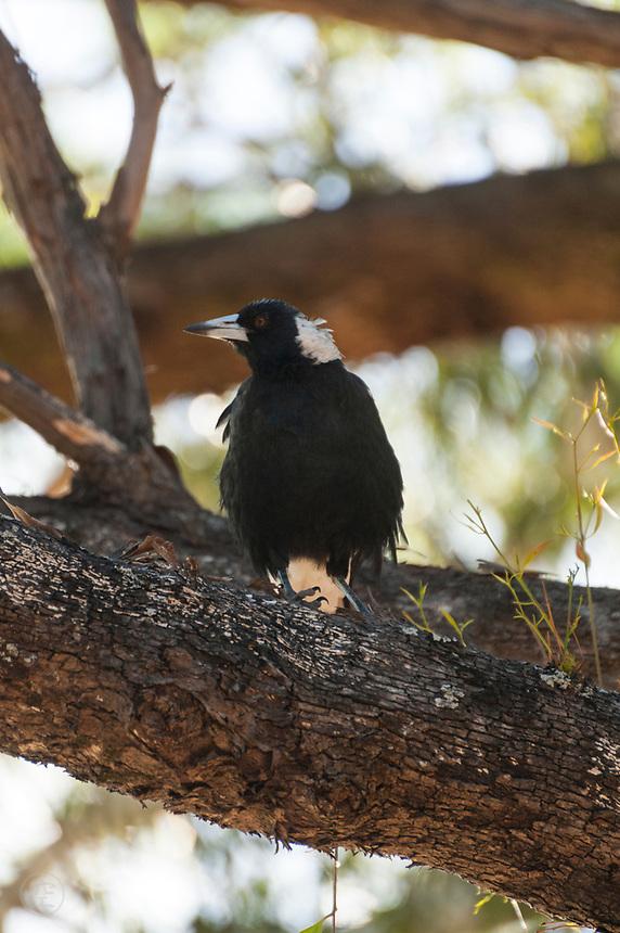 Australian Magpie, near Adelaide, South Australia.