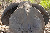 Wüstenelefant: NAMIBIA, AFRIKA, 07.12.2019: Wüstenelefant im Huab Riber