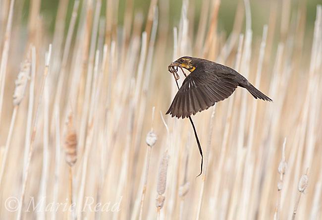 Yellow-headed Blackbird (Xanthocephalus xanthocephalus), female carrying nest material in flight, Mono Lake Basin, California, USA