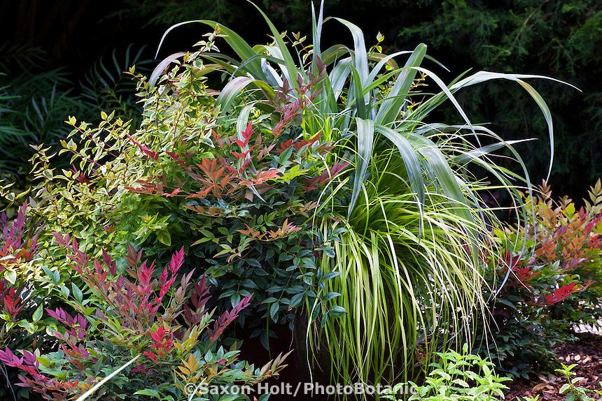 "Container of foliage plants with Nandina ""Obsession', Astelia 'Silver Shadow', Carex 'Everillo' and Abelia 'Kaleidoscope'; Sunset Western Garden Collection"