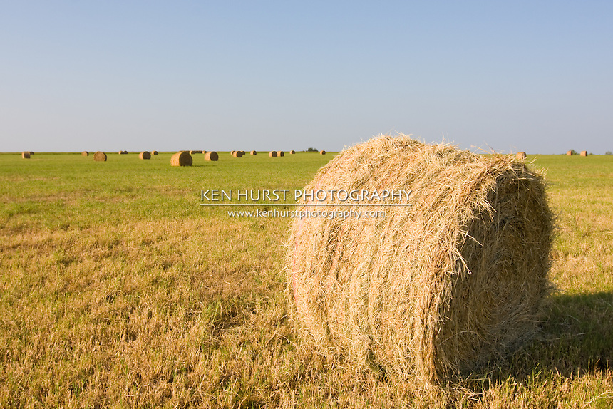 Close up a single roll of hay or haybale in a field with many other rolls in the background.