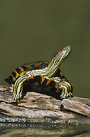 Red-eared Slider (Trachemys scripta elegans), adult sunning on log, Starr County, Rio Grande Valley, Texas, USA