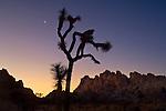 Crescent moon at sunrise over Joshua Tree and boulder rock outcrop, near Quail Springs, Joshua Tree National Park, California