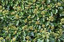 Ivy {Hedera helix} in flower. Strumpshaw Fen, Norfolk, UK. September.