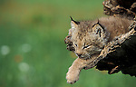 Lynx, Lynx canadensis, Minnesota, USA, kitten, 7 weeks old, in log, flower meadow, summber, controlled situation.USA....