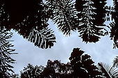Amazon, Brazil. Leaves in silhouette against the sky including Caryota mitis.