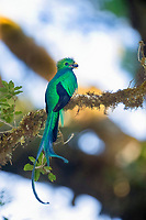resplendent quetzal, Pharomachrus mocinno, adult male with a fruit on a tree branch, Costa Rica, Central America