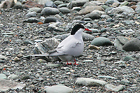 Arctic tern in breeding plumage, part of a group of terns resting on gravel bar at foot of glacier at Glacier Point