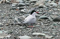 Arctic Tern AK
