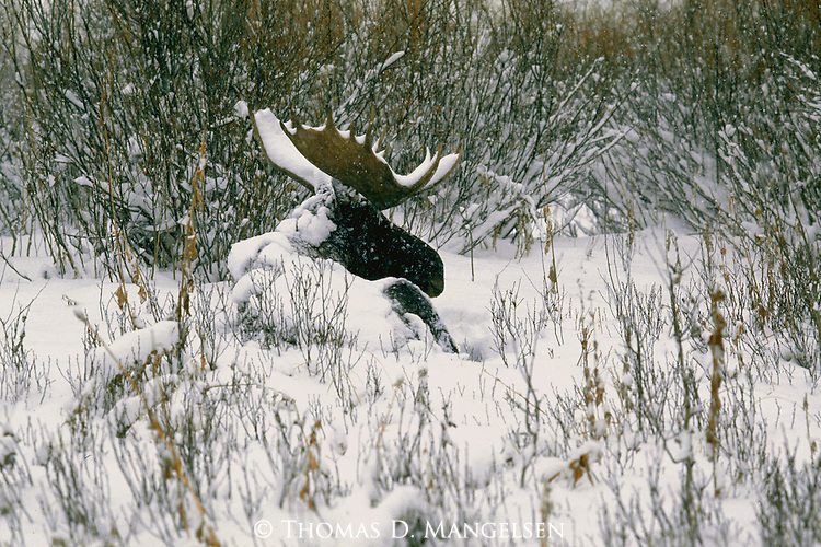 Moose lies among the willows, covered in the fresh fallen snow in Grand Teton National Park, Wyoming.