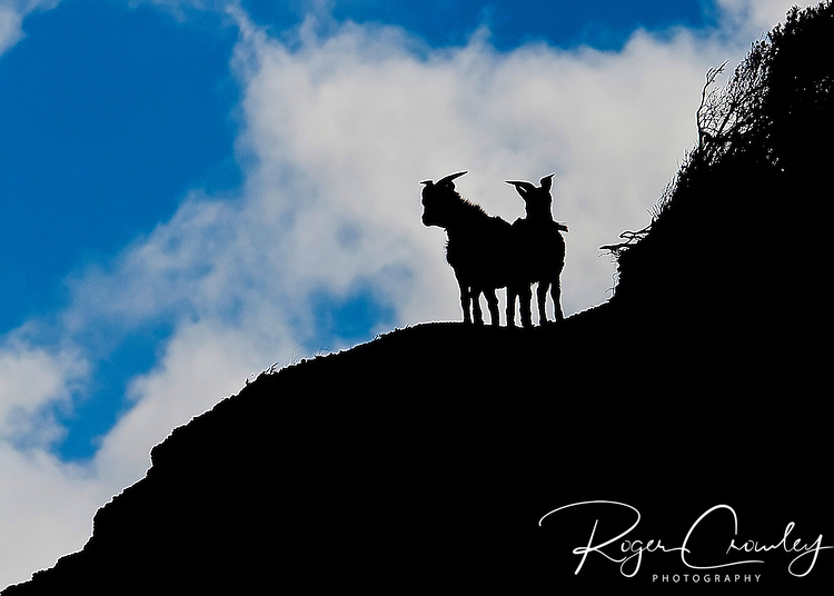 Mountain goats are high on a ridge in Waimea Canyon, Koke'e State Park, Kalalau Lookout, Kaua'i, Hawaii.
