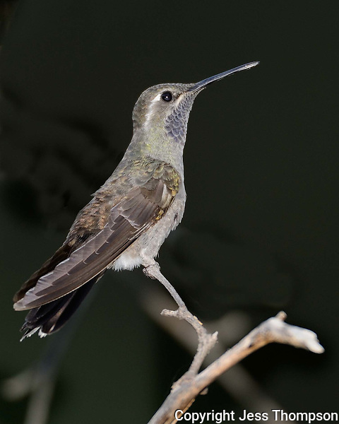 Blue-throated Hummingbird, Southeastern Arizona