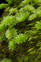 "Close-up view of Rose Moss, Rhodobryum ontariense, in clusters that appear superficially as large green ""flowers"". When dry, these structures close up until rain or dew cause them to ""bloom"" again. Interspersed with Plagiothecium sp. of moss (below). Hocking State Forest, Ohio, USA"