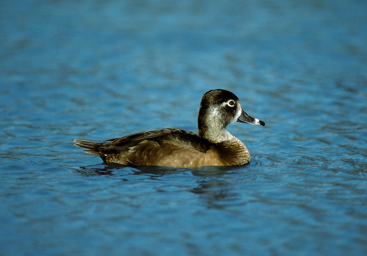 Ring-necked Duck Aythya collaris. Each autumn, a scattering of genuinely wild ducks from North America arrive here, blown in by Atlantic gales. Typically they associate with their most similar European counterparts. Ring-necked Duck Aythya collaris (L 38-45cm) is similar to a Tufted Duck but with a peaked crown and tri-coloured bill. Mainly black and white male has a vertical white line on flanks and brownish female has a white 'spectacle' around the eye.