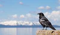 A raven stands before Yellowstone Lake and Mount Sheridan.