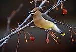 Cedar Waxwing perched in a crabapple tree in Wyoming.