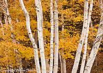 Autumn birch and maple trees, Vermont.