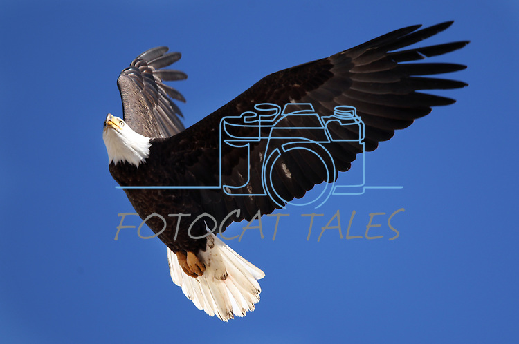 Bald eagles fly over a ranch in Minden, Nev. on Monday, Jan. 21, 2013. .Photo by Cathleen Allison