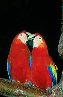 scarlet macaw, Ara macao, pair