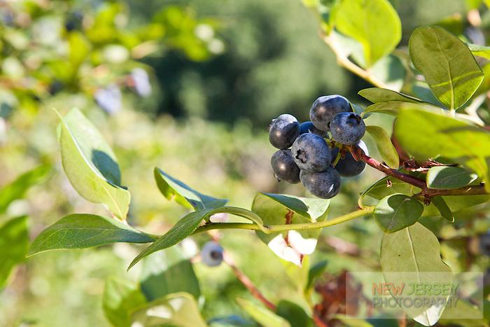 Blueberries, Wells Farm, New Jersey