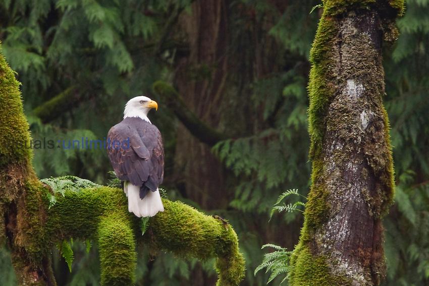 Bald Eagle (Haliaeetus leucocephalus) perched on a branch, Victoria, BC, Canada.