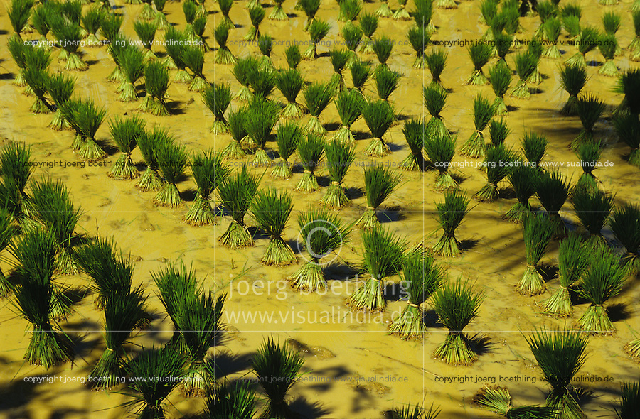 INDIA Karnataka, rice seedlings for replanting at farm near Mangalore / INDIEN Karnataka, Reisanbau, Reissetzlinge zum Umpflanzen