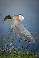 Great Blue Heron, with breeding occipital plumes, walking in water's edge with a very large fish impaled on it's beak
