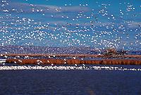 Snow Geese migration, Lower Klamath National Wildlife Refuge, Oregon