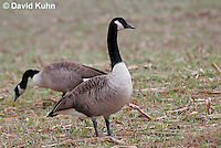 0101-1003  Pair of Canadian Geese Feeding in Corn Harvested Corn Field, Branta canadensis  © David Kuhn/Dwight Kuhn Photography