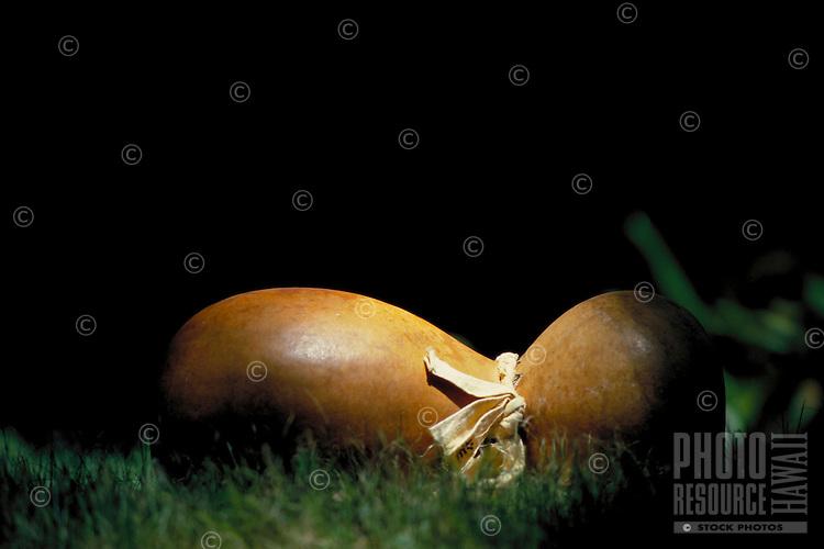 Hawaiian hula implement ' ipu heke ', double gourd