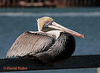 0307-0812  Brown Pelican, Pelecanus occidentalis © David Kuhn/Dwight Kuhn Photography.