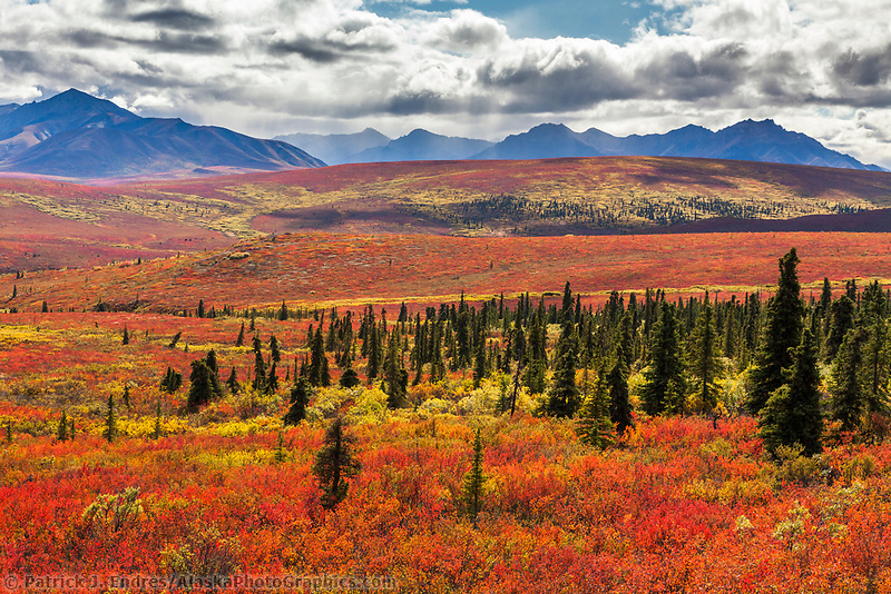 Autumn colored dwarf birch and tundra vegetation covers the tundra near the east end of Denali National park, Alaska.