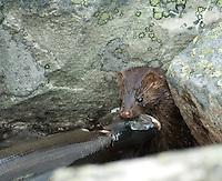 Mink med harr ---- Mink and grayling