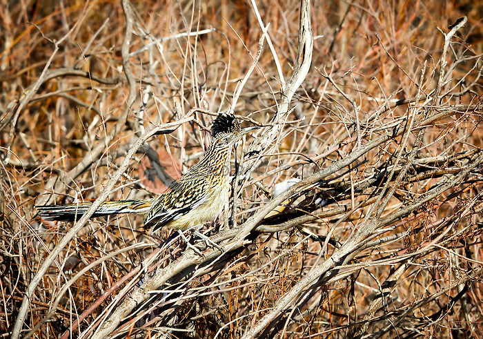 Greater Roadrunner perched in a tree in Bosque del Apache National Wildlife Refuge