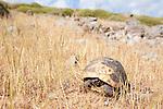 Spur-thighed Tortoise, Testudo graeca, Lesvos Island Greece  , lesbos