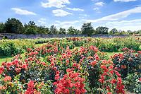 France, Indre-et-Loire (37), Montlouis-sur-Loire, jardins du château de la Bourdaisière, le Dahliacolor, collection de dahlias, dessiné par Louis Benech