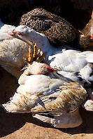 Pirapora_MG, Brasil...Detalhe de frangos em Pirapora, Minas Gerais...Detail of some chickens in Pirapora, Minas Gerais...Foto: LEO DRUMOND / NITRO