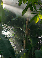 Tropical Rainforest Glasshouse (formerly Le Jardin d'Hiver or Winter Gardens), 1936, René Berger, Jardin des Plantes, Museum National d'Histoire Naturelle, Paris, France. Low angle view of Musa banana plant and Tropical vegetation seen in the mist of the atomisers against the light.