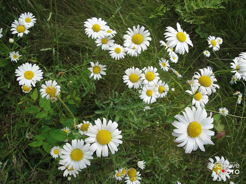 Wild Daisies in northern Wisconsin.