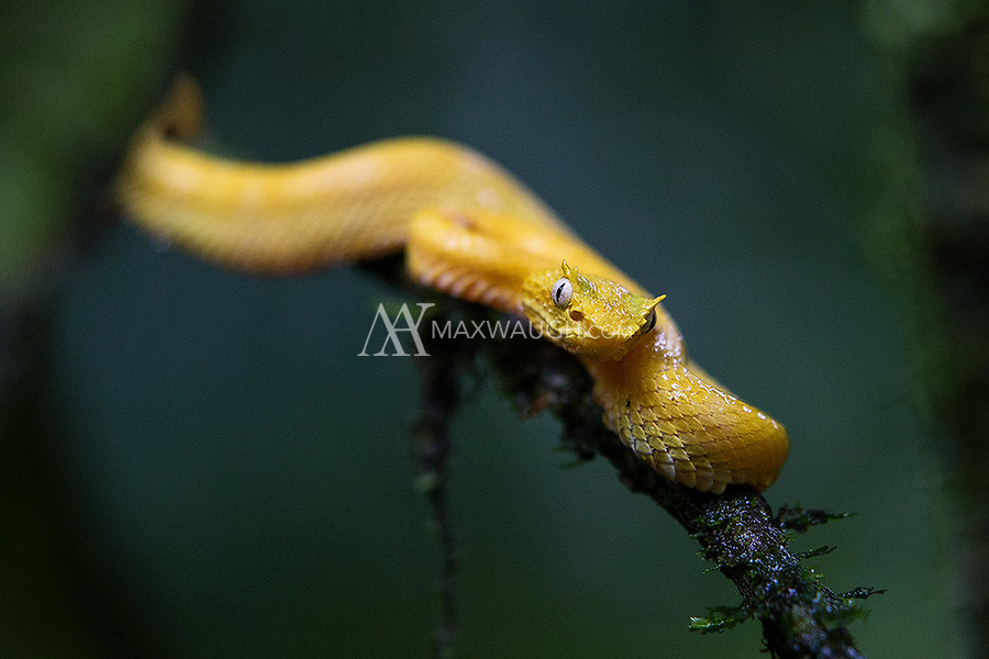 We've been able to find yellow eyelash vipers at La Selva the last few years. What a gorgeous animal.