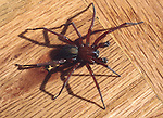 spider on hardwood floor