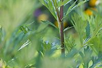 Beifuß, Gewöhnlicher Beifuß, Beifuss, Blätter und rötlich überlaufener Stängel, Artemisia vulgaris, Mugwort, common wormwood, wild wormwood, wormwood. L'Armoise commune, L'Armoise citronnelle