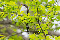 Yellow-billed Cuckoo (Coccyzus americanus).  Great Lakes Region.  May.