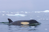 killer whale , orca , Orcinus orca, in the waters off the western Antarctic Peninsula, Antarctica, Southern Ocean
