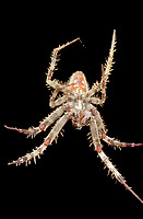 370000065 a wild male orbweaver spider araneaus ssp. sits on her web at night in los angles county california