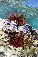 red pencil urchin, Heterocentrotus mammillatus, Midway atoll, Papahanaumokuakea Marine National Monument, Northwestern Hawaiian Islands, Hawaii, USA, Pacific Ocean
