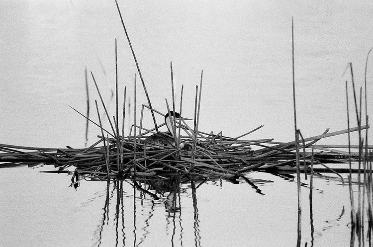Nesting Grebe, Ilford Delta Film