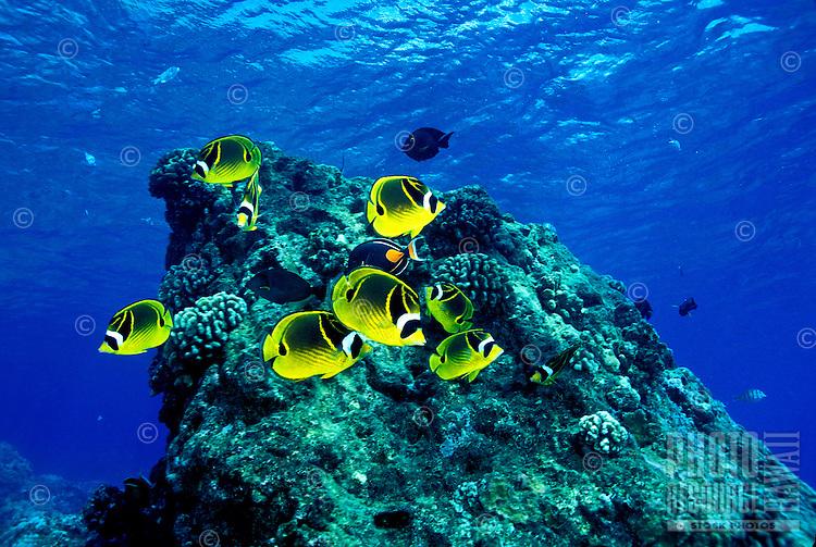 The colorful Raccoon Butterflyfish ( Chaetodon lunula ) is a common sight on Hawaii's coral reefs.  Hawaiian name is ( kikakapu )